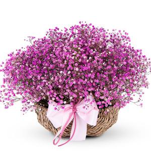 붉은안개꽃(예약배송)