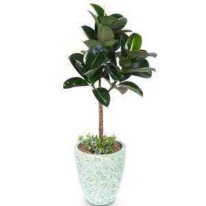 가지 고무나무(사기화분)