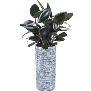 흑고무나무