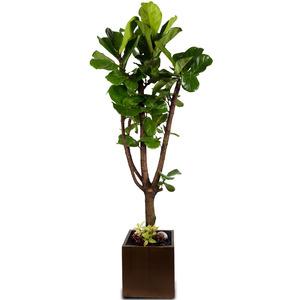 떡갈고무나무(사각)-특품