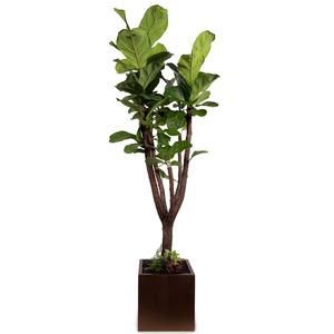 떡갈고무나무(스페셜)
