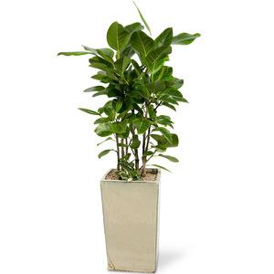 뱅갈고무나무(사각분)-공기정화