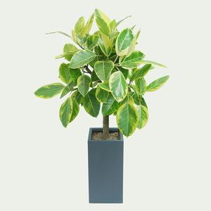 인기특가♠뱅갈고무나무