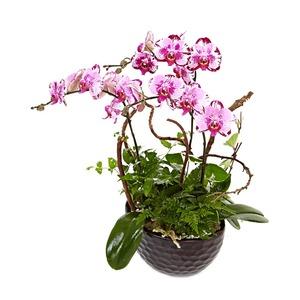 아름다운선물 호접란(핑크)