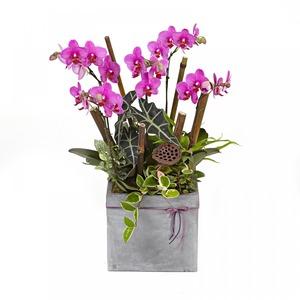 딜라이트 호접란(핑크,사각)