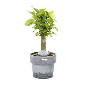 뱅갈고무나무(시멘소)