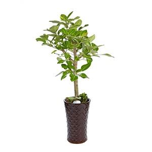 개업축하화분-뱅갈고무나무