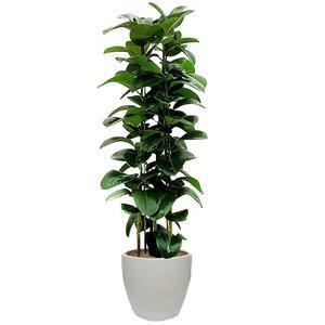 고무나무VIP-실내인테리어