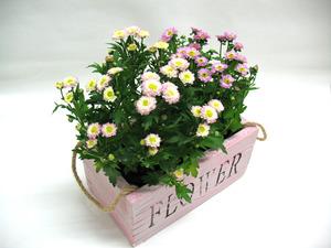 국화꽃 향기(핑크)