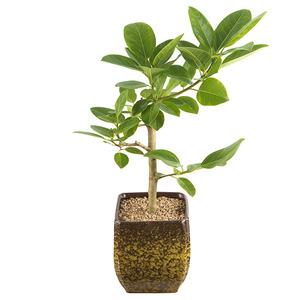 뱅갈고무나무-공기정화